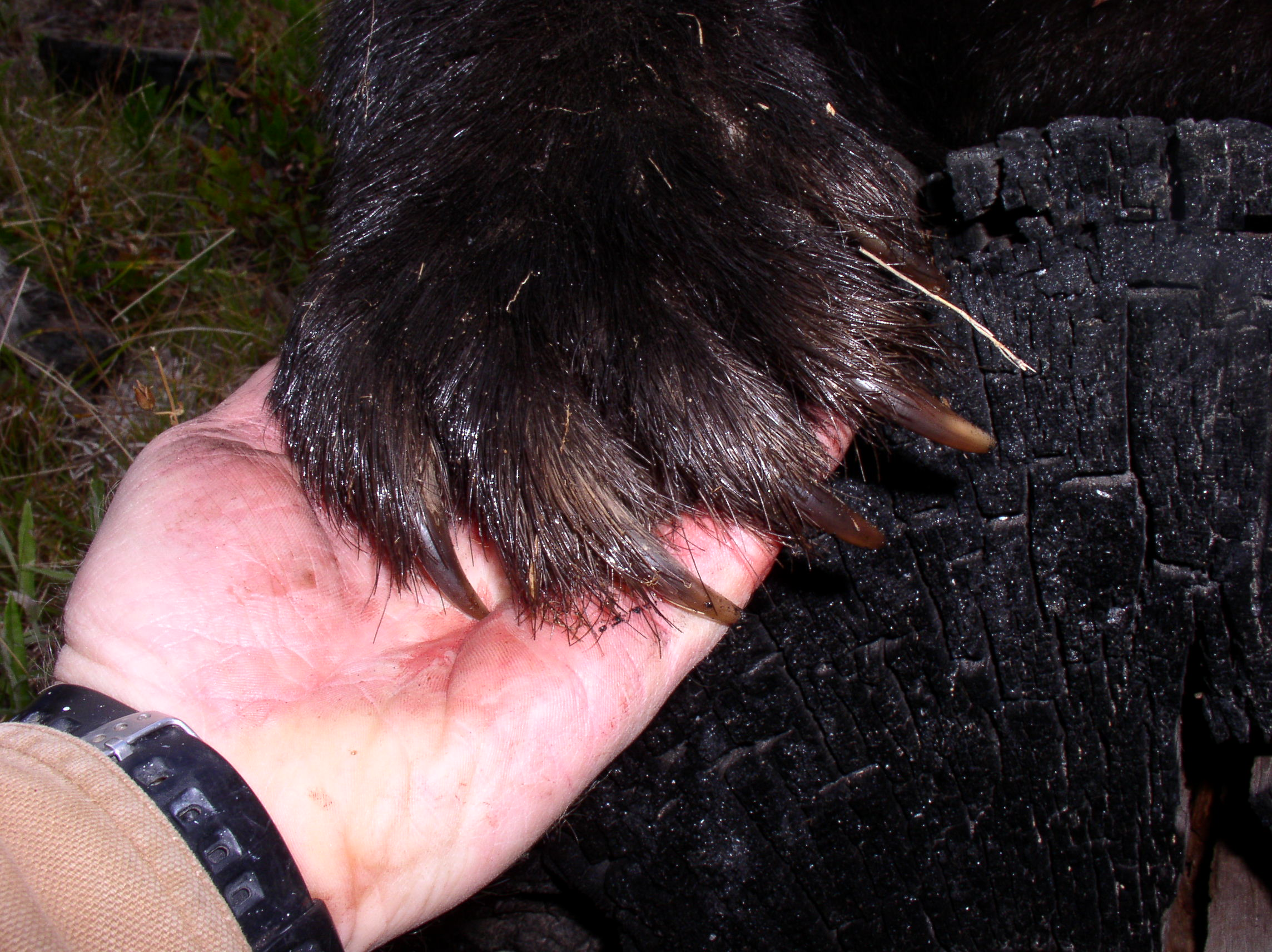 Bear paws and claws