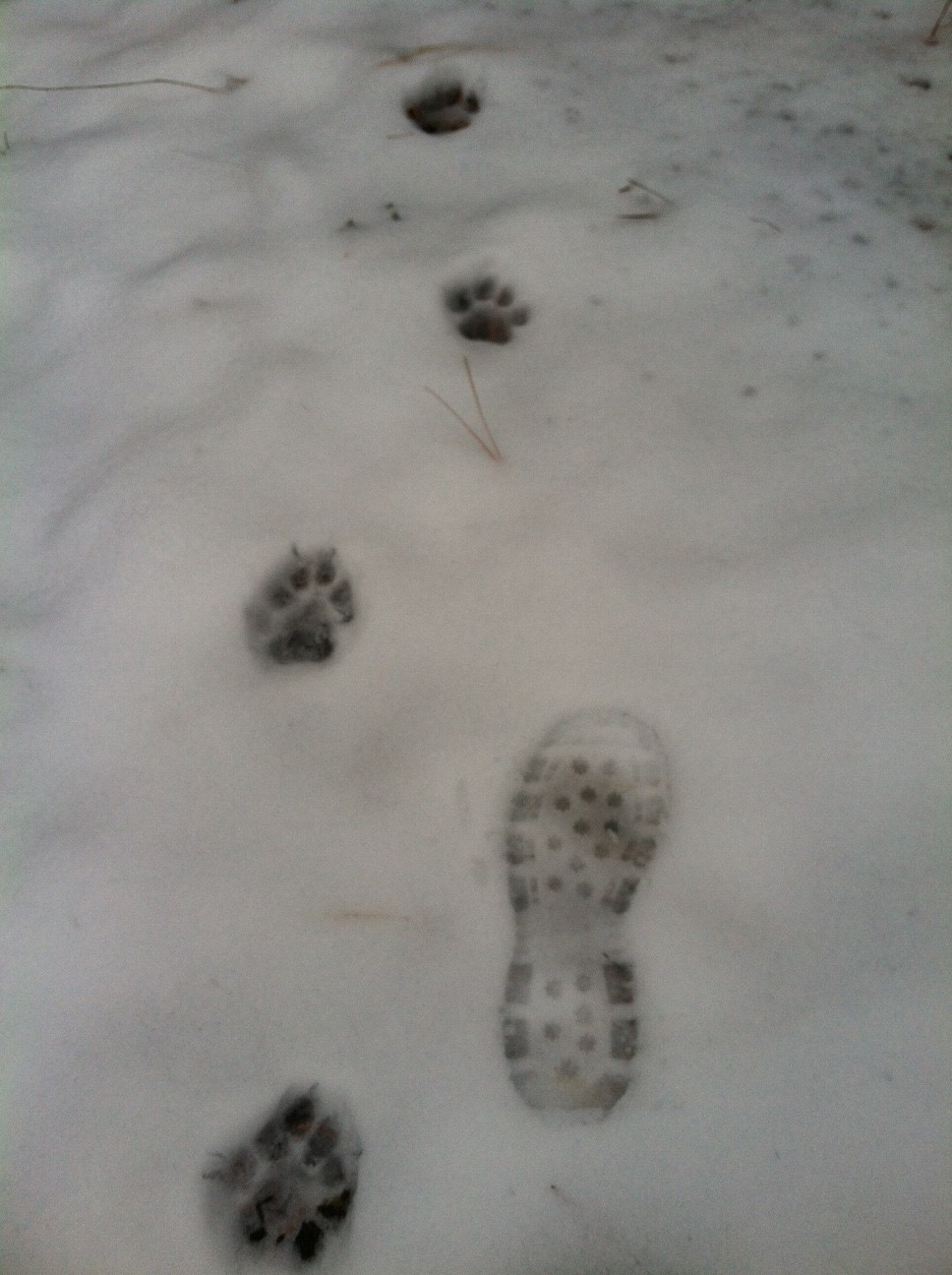Cougar tracks. I wasn't far behind this cat in Eastern Washington.